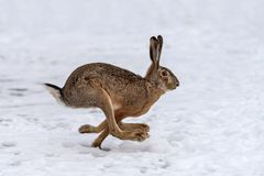 Hare running in the field. Hare running in the winter field stock image