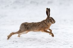 Hare running in the field Royalty Free Stock Image