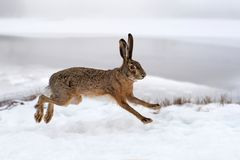 Hare running in the field. Hare running in the winter field Royalty Free Stock Photo