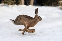 Hare running in the forest stock photos