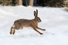Hare running in the forest royalty free stock image