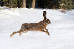 Hare running in the forest royalty free stock photo