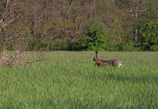 Hare running in grass. Hare running in green grass Royalty Free Stock Photo