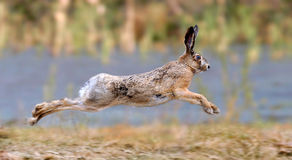 Hare. Running in a meadow Royalty Free Stock Photo