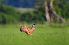 Hare running. Photo of hare running in a field stock image
