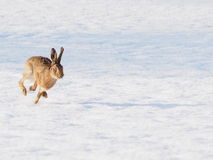 Hare running towards the camera. A hare running at full pace in the snow towards the camera Royalty Free Stock Images