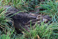 A hare`s den picture taken in the Netherlands, state Drenthe royalty free stock photos