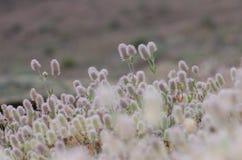 Hare`s-foot clovers. Trifolium arvense. Llano de Las Brujas. Integral Natural Reserve of Inagua. Tejeda. Gran Canaria. Canary Islands. Spain Stock Photography