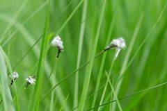 Hare`s-tail cottongrass, Eriophorum vaginatum Royalty Free Stock Photography