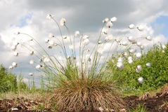 Hares-tail Cottongrass Stock Images