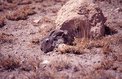 Hare, Savanna (Lepus victoriae) Royalty Free Stock Photography