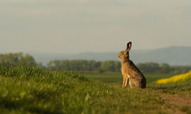 A hare sitting on the balk. A hare sitting on the balk observing the sun set shot in lovely warm evening light Royalty Free Stock Images