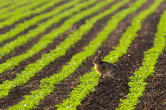 Hare sitting in a field. The pictures was taken in the early morning light Stock Images