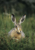 Hare sitting on grass Stock Photos