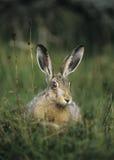 Hare sitting on grass Stock Photos