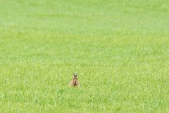 Hare sitting in grass Stock Photos