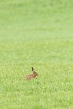 Hare sitting in the grass Stock Photo