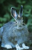Hare sitting outdoors Stock Images