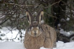 Hare in snow Royalty Free Stock Photos