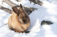 Hare in the snow. Animals world of planet Earth stock image