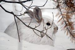 hare snowshoe Fotografia Royalty Free