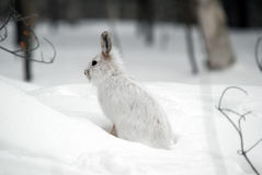 hare snowshoe Obrazy Royalty Free