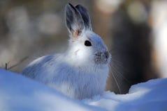hare snowshoe Zdjęcia Stock