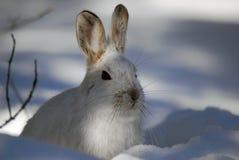 hare snowshoe Obraz Stock