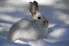hare snowshoe Obraz Royalty Free