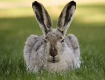 A hare stares and relaxes on a summer evening Royalty Free Stock Photos