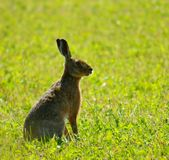Hare royalty free stock photos