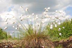 Hare-svans Cottongrass Arkivbilder