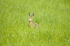 Hare in tall grass Royalty Free Stock Photography