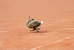 Hare on a tennis court Royalty Free Stock Photos
