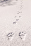 Hare trace on a fresh snow Stock Image
