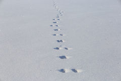Hare tracks on clean snow field. Winter background minimalistic Stock Photography