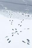 Hare tracks at a lake Royalty Free Stock Image