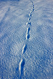 Hare tracks in the snow. Hare tracks on the snow in Russia Stock Photos