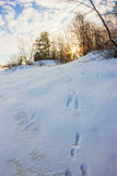Hare tracks in the snow. Royalty Free Stock Photography