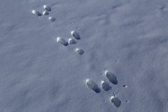 Hare tracks in the snow. Royalty Free Stock Image