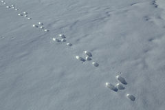 Hare tracks in the snow. Stock Photos