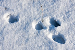 Hare tracks in winter in the snow.  Stock Photography