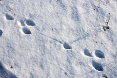 Hare tracks in winter in the snow.  Royalty Free Stock Photos