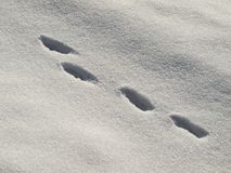 Hare trail in the snow Royalty Free Stock Photography