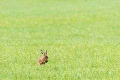 Hare washing himself with his paws Stock Photo