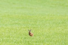 Hare washing himself with his paws Royalty Free Stock Photo