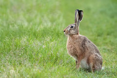 Hare in the wild Royalty Free Stock Photos
