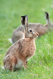 Hare in the wild, in a clearing Royalty Free Stock Photo