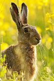 Hare in the wildflower meadow Royalty Free Stock Photography