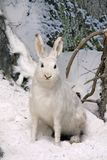 Hare in winter wood Royalty Free Stock Images